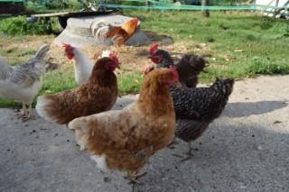 Hühner auf dem Fischerhof